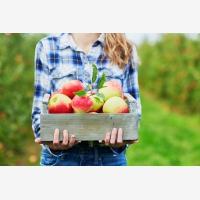 Sklízení jablek a úrody
