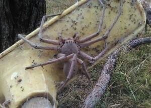 57907d68423 V Austrálii našli údajně největšího pavouka současnosti  toho potkat  nechcete