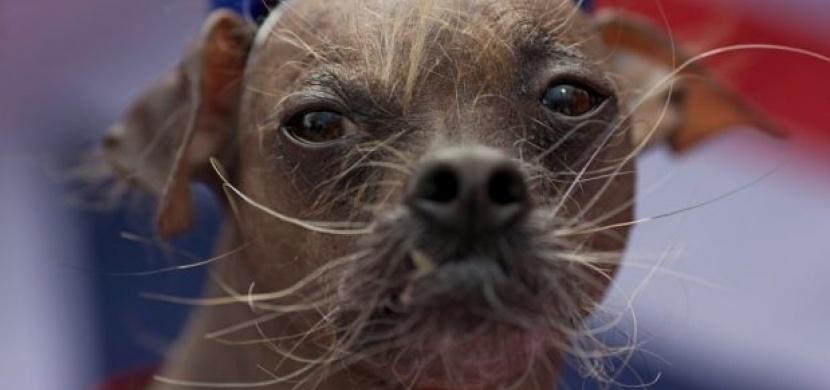 Nejošklivější psi světa: který z nich je vám nejvíc sympatický?