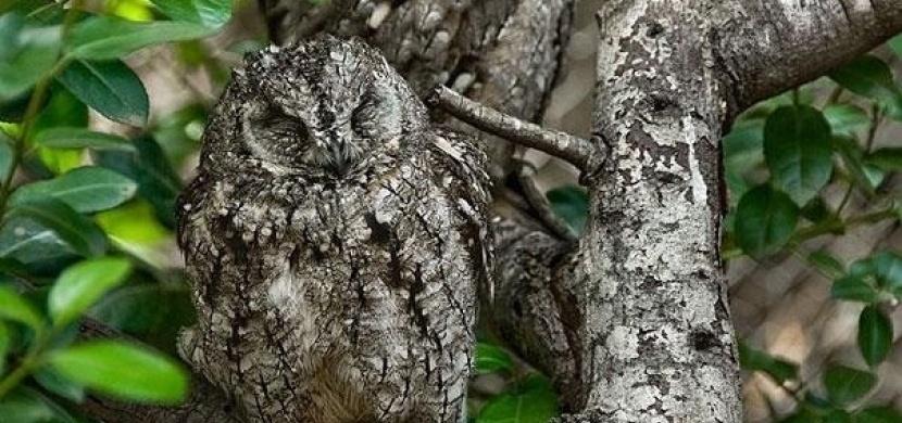 Soví kamufláž: Neuvěřitelné příklady maskování sov