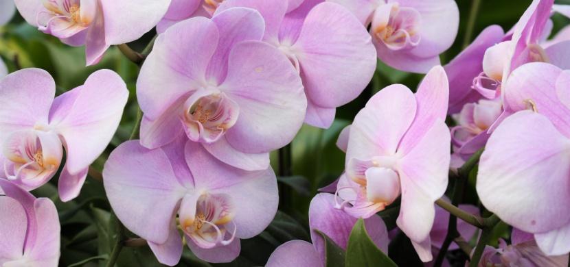 Odkvetla vám orchidej? Vyzkoušejte jednoduchý trik, díky kterému se květy znovu objeví