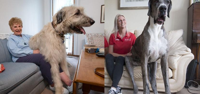 Výška 2 metry, váha 156 kilo. Jak vypadají ti největší psi světa?