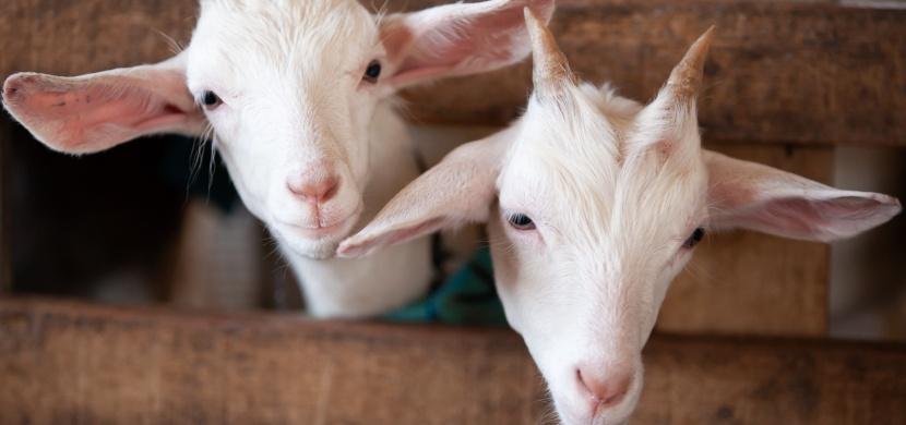 Koza porodila mládě s lidským obličejem: Způsobil to styk farmáře s kozou?