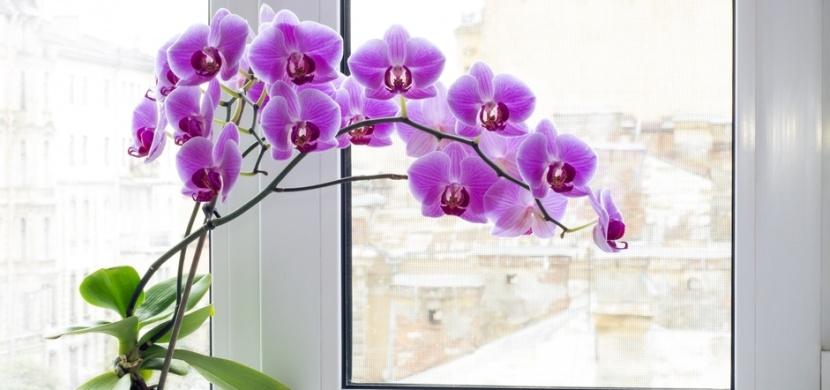 Nekvete vám orchidej? Tři stroužky česneku ji donutí opět vykvést