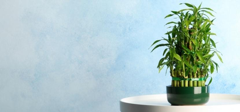 Pořiďte si tyto pokojové rostliny: Do vašeho domova vnesou zdraví, bohatství a štěstí