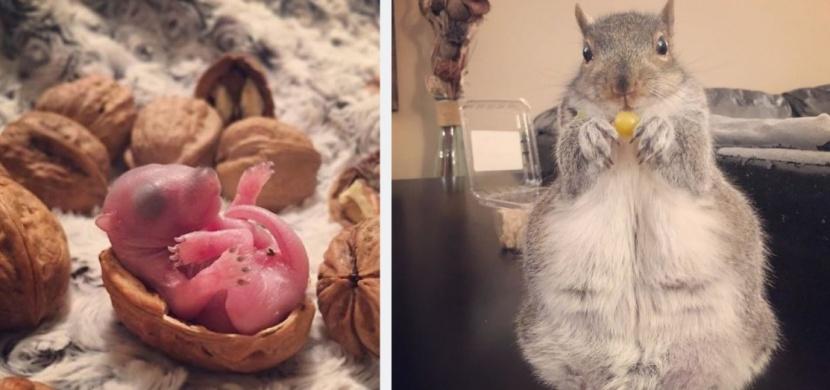 Mladý pár zachránil veverčí mládě před jistou smrtí: Z veverky Thumbeliny je teď hvězda Instagramu
