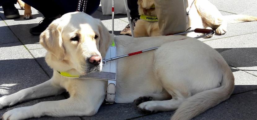 Vodicí pes ve službě člověku: Jaký je život nevidomého s vodicím psem?