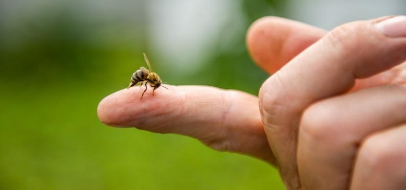 První pomoc při bodnutí včelou, vosou nebo sršněm: Nepoužívejte pouze cibuli