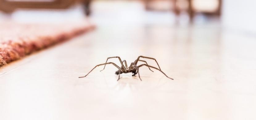 Jak se zbavit pavouků v domě? Vypuďte je pomocí kaštanů, citronu či máty