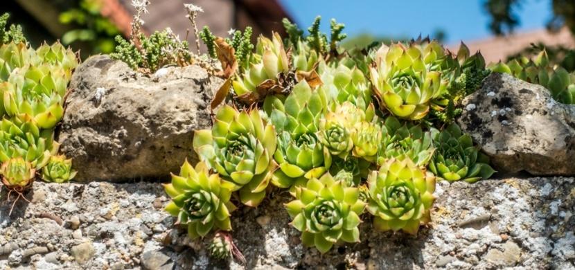 Pěstujete na zahrádce netřesk? Tato skalnička není jenom na okrasu, má léčivé účinky srovnatelné s aloe vera