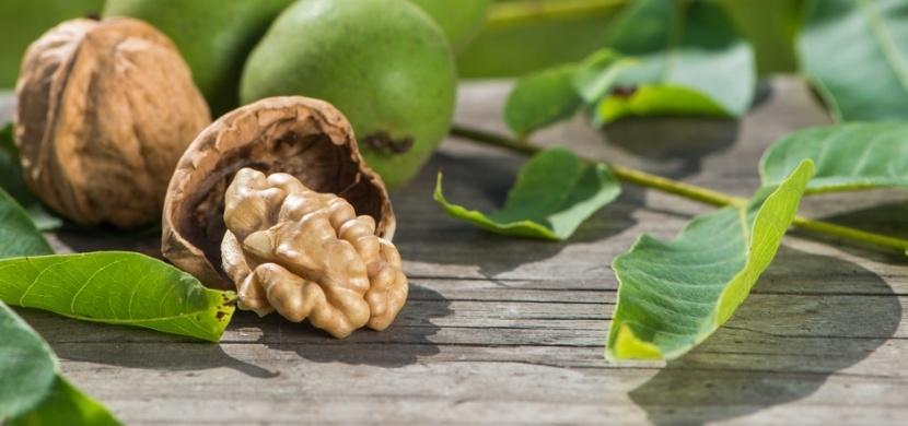 Listy ořešáku královského působí na naše zdraví blahodárněji nežli samotné vlašské ořechy