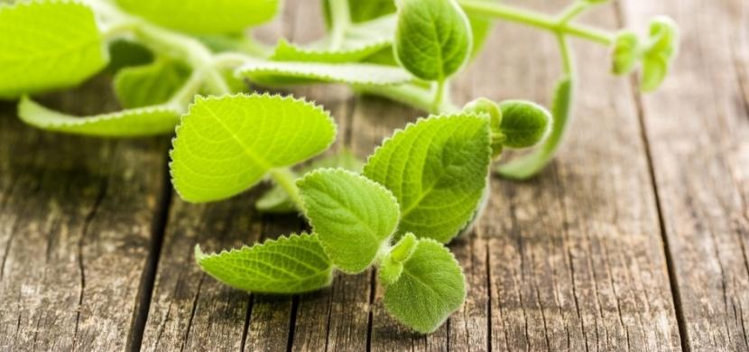 Jak použít rýmovník, aby vás zbavil nachlazení a rýmy? Vyrobte si z něj čaj, sirup nebo mast