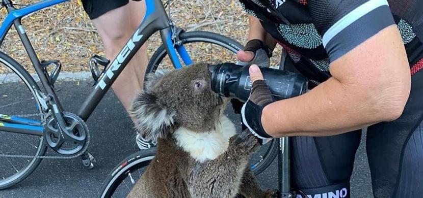 Australská cyklistka dala napít z lahve žíznivému koalovi: Nevědomky jej ohrozila na životě