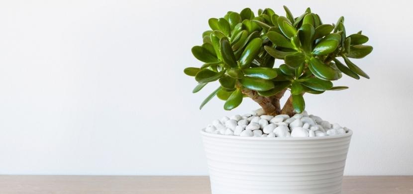 Tlustice podle Feng Shui: Tato pokojová rostlina vám přinese pozitivní energii i peníze