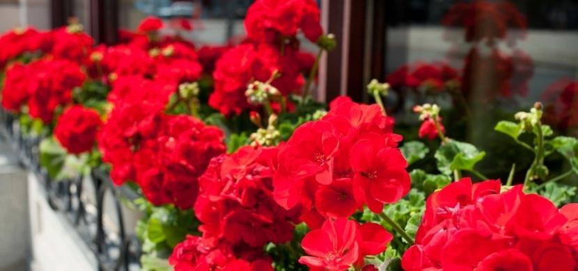 Pěstování muškátů: Jak se o ně starat, aby bohatě kvetly