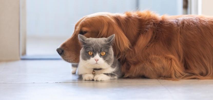 Hlídejte své domácí mazlíčky. Kočky si mohou koronavirus mezi sebou předávat