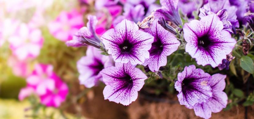 Pěstování petúnií: Jak se o ně starat, abyste na ně byla pyšná