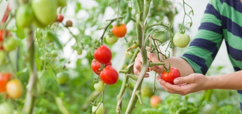Sázení rajčat si musíte správně načasovat a dodržet při něm několik zásad. Jedině tak budete mít bohatou úrodu