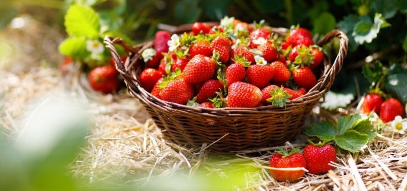 Co s jahodami po sklizni: Aby jahodníky příští rok plodily, zaslouží si náležitou péči