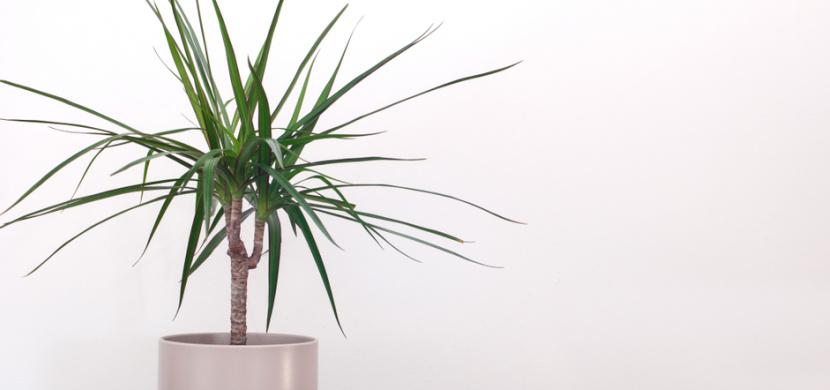 Jak pěstovat dracenu, aby se stala ozdobou vašeho domova: Dracaena marginata naroste do výšky při dodržení několika pravidel