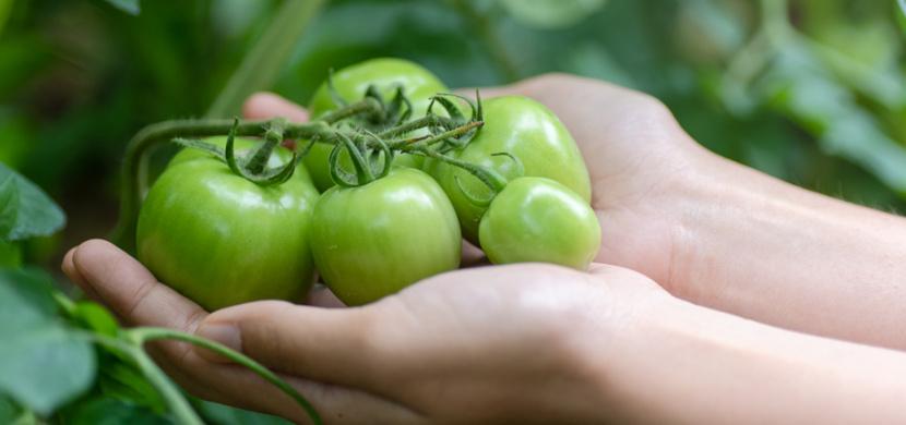 Co se zelenými rajčaty: Mohou dozrát i po sklizni, pokud je uložíte k jablkům