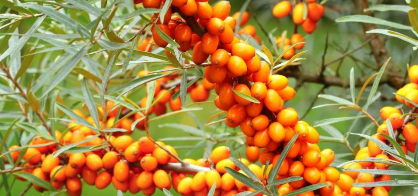 Kdy a jak sklízet rakytník řešetlákový: Oranžové plody nadupané vitaminy zrají v září, jejich sklizeň usnadní mrazák