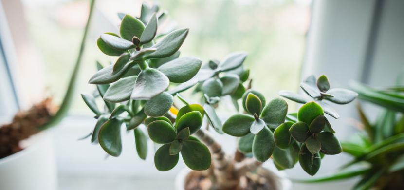 Pěstování tlustice vejčité zvládne i začátečník. Tato pokojová rostlina je indikátorem zdraví a má spoustu léčebných vlastností
