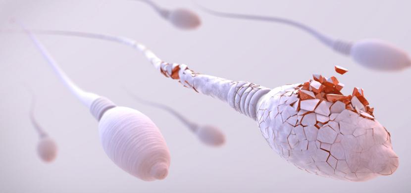 Koronavirus snižuje u mužů plodnost, tvrdí izraelští vědci. Covid-19 podle nich neblaze ovlivňuje produkci spermií a jejich hybnost