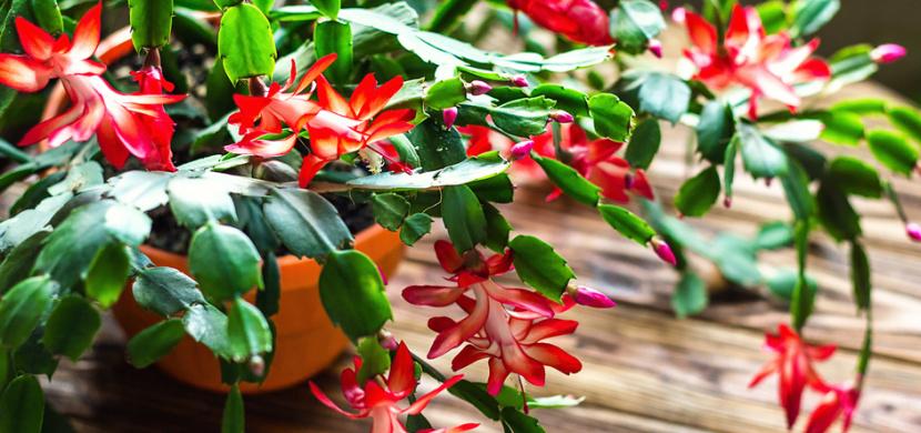 Pěstování vánočního kaktusu je věda. Co dělat, aby vám vykvetl o Vánocích