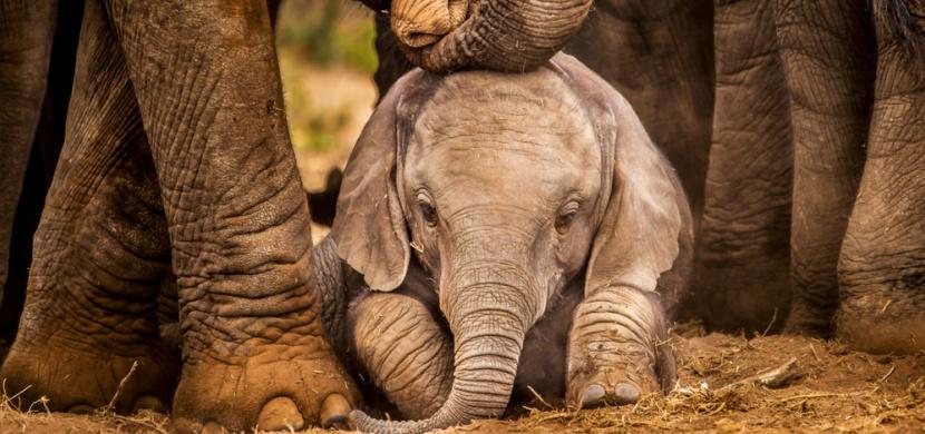 Oklahomská zoo zveřejnila ultrazvuk sloního mláděte. Není nic roztomilejšího