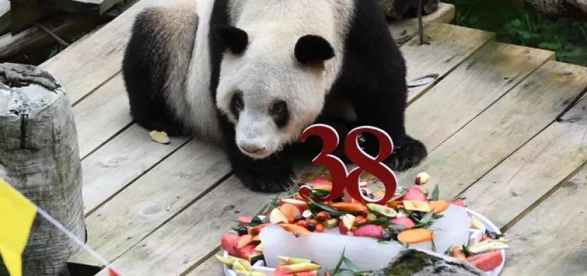 Zemřela nejstarší panda světa. Xin Xing v létě oslavila 38. narozeniny