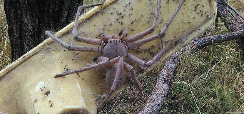 Je tohle největší pavouk na světě? Z tohoto obra budete mít špatné spaní!