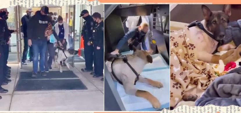Policejní pes Arlo byl několikrát postřelen. Při propouštění z kliniky na něj čekalo překvapení
