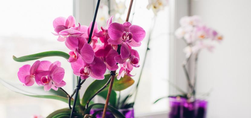 Nejlepší domácí hnojivo na orchideje: Vyzkoušejte rýžovou vodu, banánové slupky nebo brambory