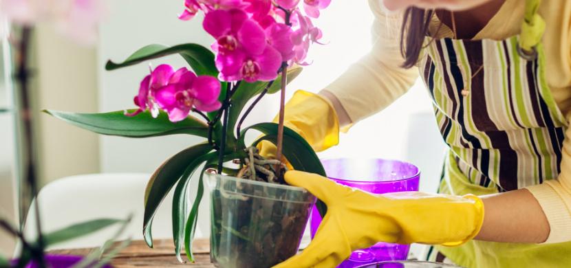 Přesazování orchideje si správně načasujte. Dejte si záležet i na výběru květináče a substrátu