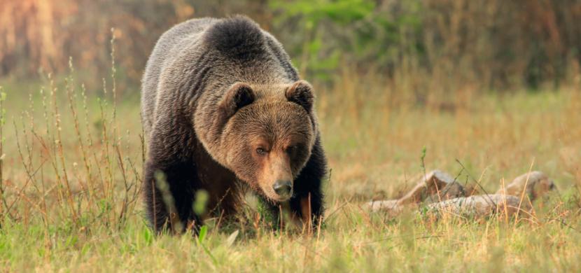 Muže v Nízkých Tatrách skutečně zabil medvěd, potvrdila pitva. Slovenští lesníci varují před dalšími útoky